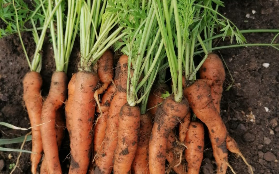 Early carrot crop