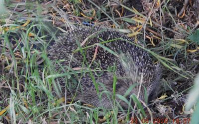 Hedgehog in the allotment