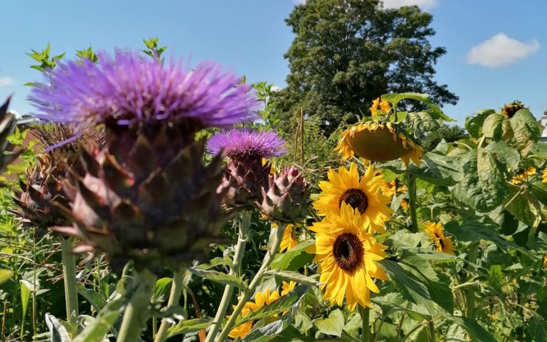 August in the Allotment